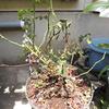 2012/06/10 蕾と葉が沢山付いていたジョージベストがボロボロになって帰ってきた(>_<)
