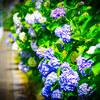 紫陽花撮影③私のカメラ雑感