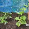 庭に咲く花6月7日、そして家庭菜園