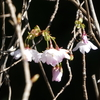 熊野桜が咲いたよ
