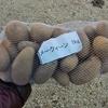 ジャガイモを植え付けました(だんしゃく&メークイン)