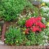 花壇を占領【コバノタツナミソウ】をなくします