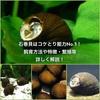 石巻貝はコケとり能力No.1! 飼育方法や特徴・繁殖等詳しく解説!