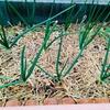 玉ねぎ栽培の進捗。少し太くなってきました。