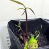 マンゴーのタネから栽培にチャレンジ、ただいま進行中。
