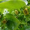 柿の木(カキノキ)