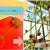 トマトの栽培について!!処分するはずのわき芽からトマトを栽培!!