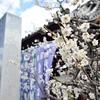 法住寺の梅。