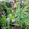 雨の庭  〜わが家の花たち〜