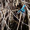 先週の鳥果:三沢川と野川でカワセミを探す多摩探鳥歩きとプロキャプチャー撮影