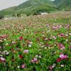 コスモス一面に 熊本県西原村で