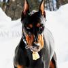 【犬の視覚チェッカー】ドーベルマンはドーベルマン(ブラックタン)をはっきり視覚している