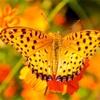 褄黒豹紋蝶…