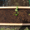 サツマイモ栽培(プランター)・・・美味しいサツマイモもプランターで手軽に作れます!