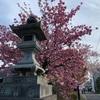 八重桜が満開。