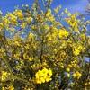 12月のミモザの花