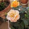 甘い色のバラを求めた。