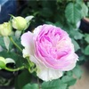 毎日薔薇が咲いています。
