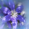 2番花が咲いたクレマチス