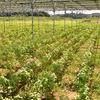 ソーラーシェアリング:収穫の秋に向けて 蕎麦が順調に育っています - 匝瑳飯塚 Sola Share 1号機