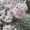 桜が見頃です(*^^*)