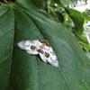 ユウマダラエダシャクとコスズメの終齢幼虫