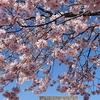筑西市役所下館庁舎(旧下館市役所本庁舎)の桜