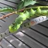 でかっ💦 アゲハ蝶の幼虫
