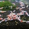 【シュリンプ】レッドビーシュリンプ 日の丸・モスラ  10匹セットSSグレード神戸店在庫≪熱帯魚 観賞魚 飼育≫