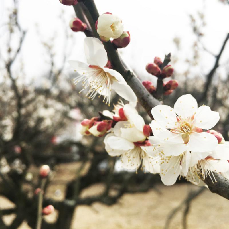 春だ!そうだ、青谷梅林(城陽市)の「梅まつり」へ行こう~