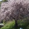 今年唯一の桜