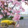 名古屋で早咲き、かわいい桜、美味しいさくら