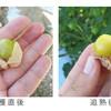 アップルベリー(食用ホウズキ)の作り方/着果と収穫 編