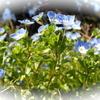 パンダカラーのオジロアシナガゾウムシ&キタテハの登場&春の野山の草花たち♪