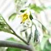 一番花の着果の重要性 ~トマトトーンを使ってみた~