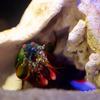 モンハナシャコ Odontodactylus scyllarus