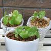 亀甲竜の実生⑥:植え替えの効果