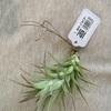 チランジア・多肉植物フェアで、チランジアを買いました。
