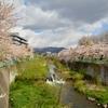 ここの桜だって見頃ですよ  亀田川白鳥橋…