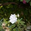 ハマナス白八重 2番花 2014/05/24