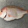 高知で釣れた新鮮な魚で料理! 連子鯛・黒マグロ・黒ムツ
