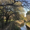 善福寺川ランニング〜桜の花が狂い咲き〜