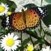 336   愛すべき生き物たち〜ツマグロヒョウモン幼虫〜