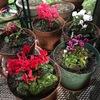 ガーデンシクラメン: 例年楽しむビオラがいつ花を咲かせるのか分からない.まだ芽が出たばかり.寂しい庭を飾るために購入.花言葉が「内気」だったり,日本語の別名が「ブタノマンジュウ」だったり.現在のシクラメンの印象とは全く違います.