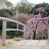 #しだれ桜#小石川後楽園