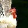 鶏肉で今一度「頂きます」を考える。 ~食卓までの過程を体験する意味~