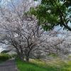 桜が満開の青野川沿い。美しい南伊豆(静岡県賀茂郡南伊豆町)
