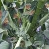スティックセニョール収穫!&アスパラ刈り!