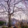京都・洛中 - しだれ桜咲く 早朝の本満寺