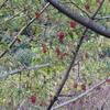 冬・・・イイギリの赤い実